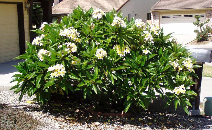 tanaman perdu berbunga