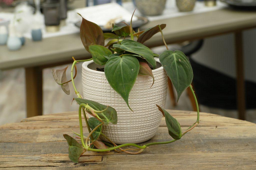 Philodendron baumfreund