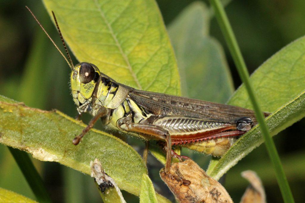Serangga langka