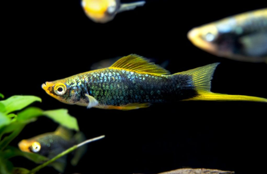 Jenis Ikan Hias Air Tawar Kecil Dan Indah Jenis Net