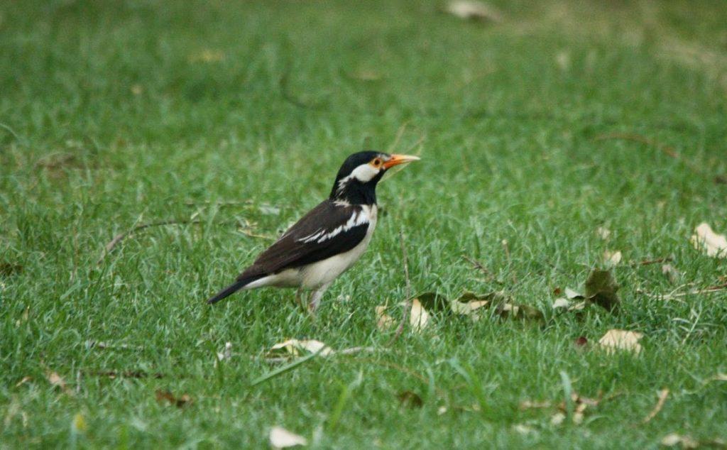 jenis burung Indonesia