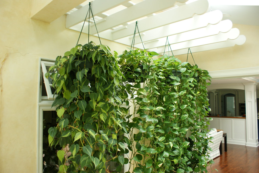 tanaman hias philodendron