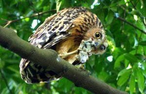 13 Jenis Burung Hantu Yang Ada Di Indonesia Jenis Net