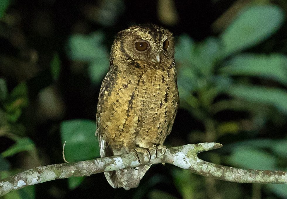 Burung Hantu Celepuk Jenis Makanan Dan Harga Jenis Net
