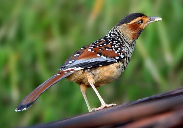 Burung Poksay Jenis Makanan Dan Harganya Jenis Net