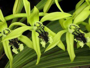 bunga langka dari Indonesia