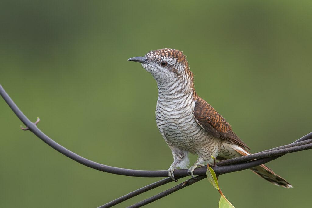 Jenis Burung Kedasih Yang Ada Di Indonesia Jenis Net
