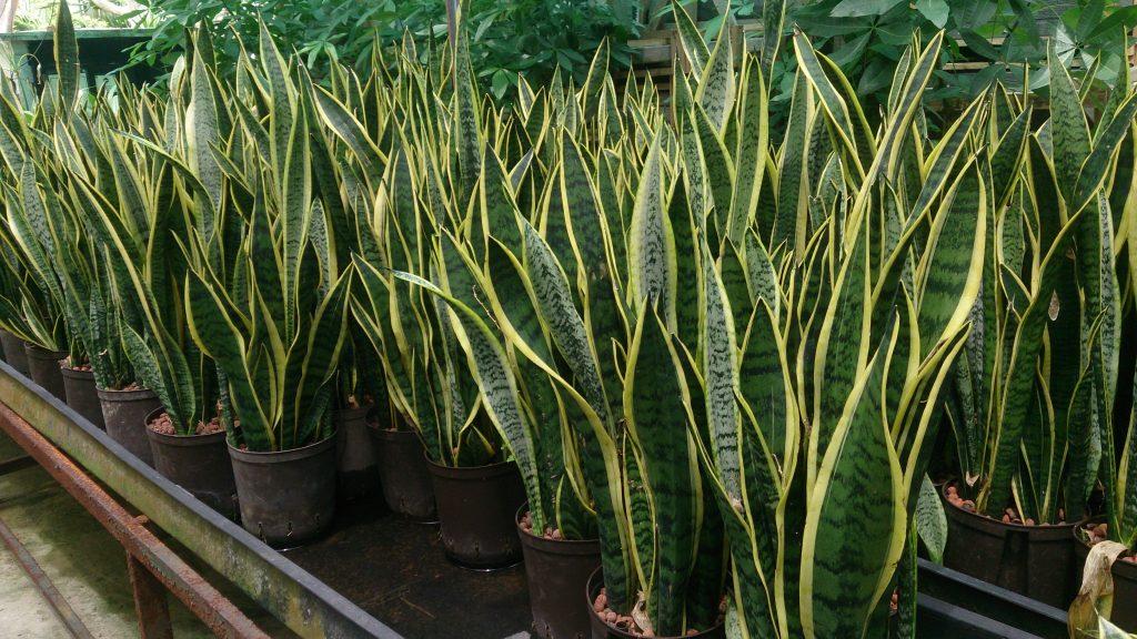 daun tanaman hias sansevieria