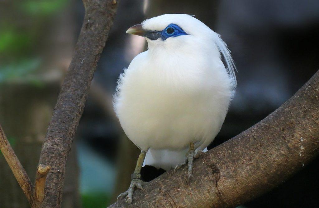 Ciri Ciri Burung Jalak Bali Secara Fisik Jenis Net