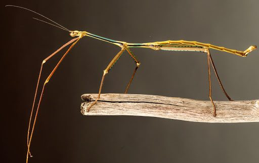 jenis belalang terpanjang