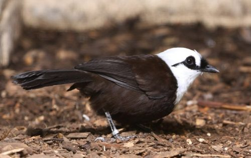 Burung Poksay Jambul Putih Sumatera