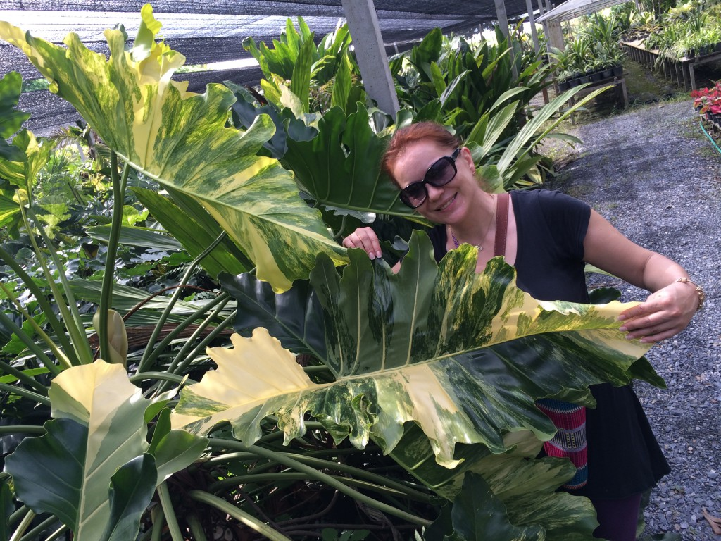 jenis tanaman hias daun
