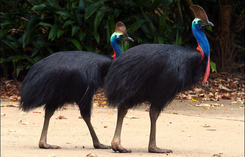 Burung Kasuari Ciri Ciri Jenis Makanan Dan Cara Berkembang Biak