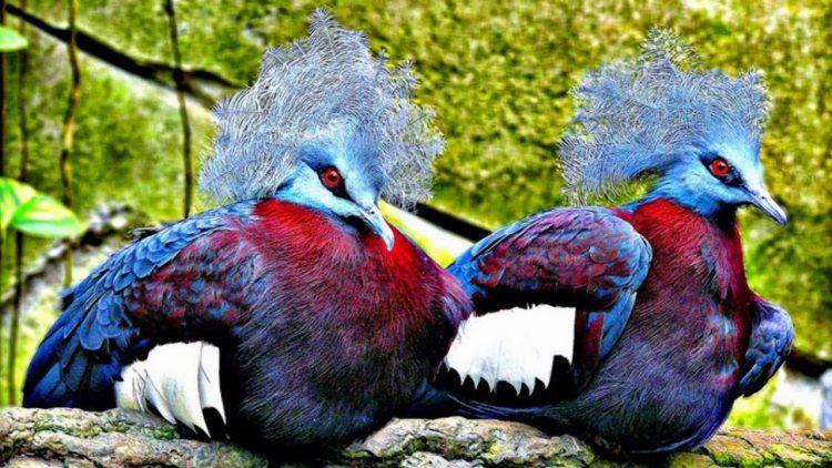 Burung merpati mahkota