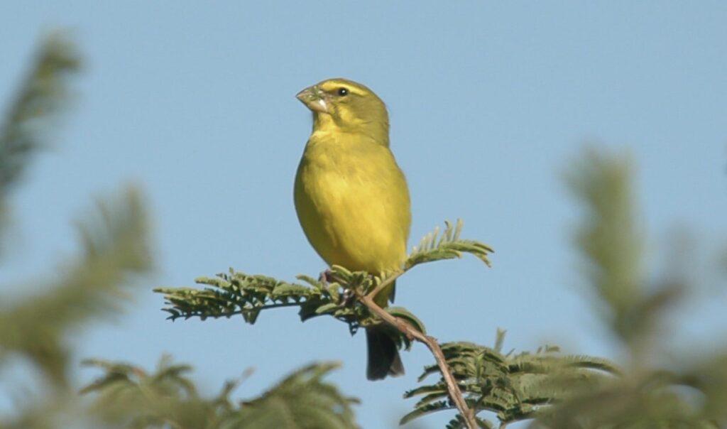 burung kenari yang gampang berbunyi
