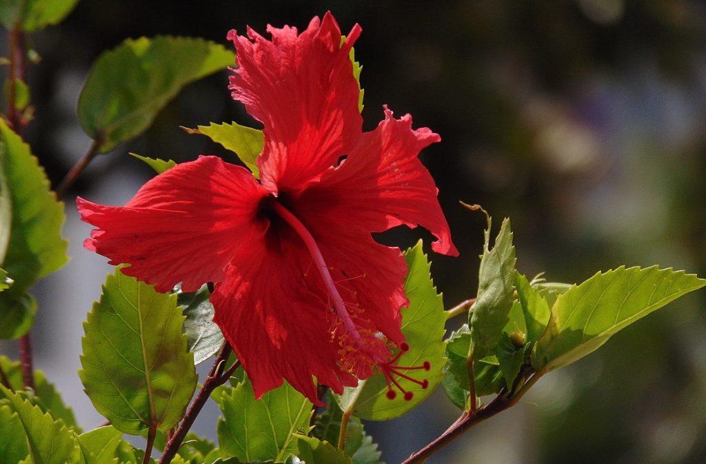 Bunga Nasional Malaysia Adalah Bunga Raya Jenis Net