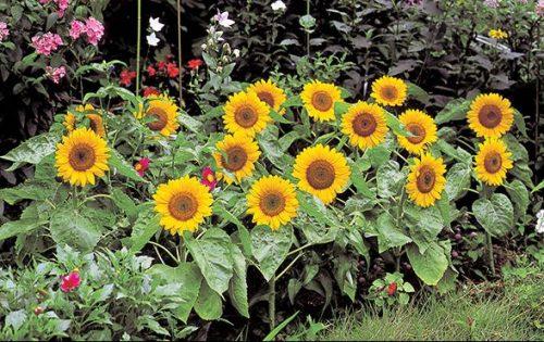 Bunga matahari Big Smile