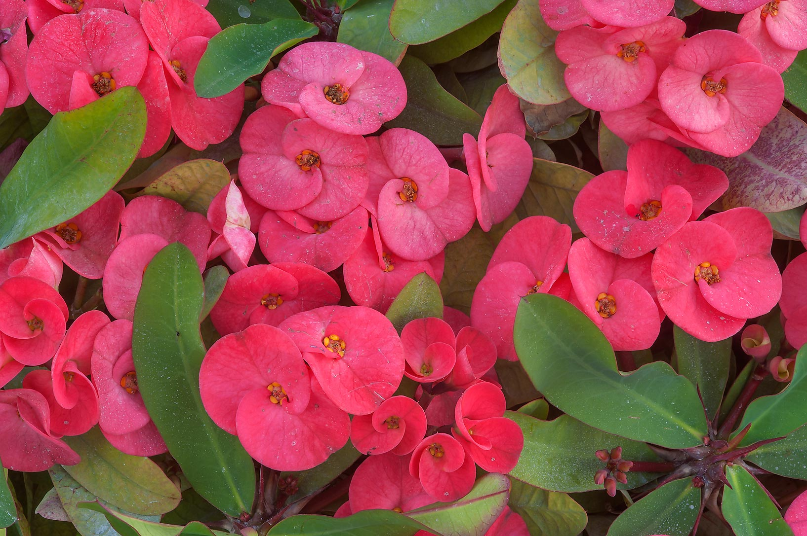 Jenis Euphorbia
