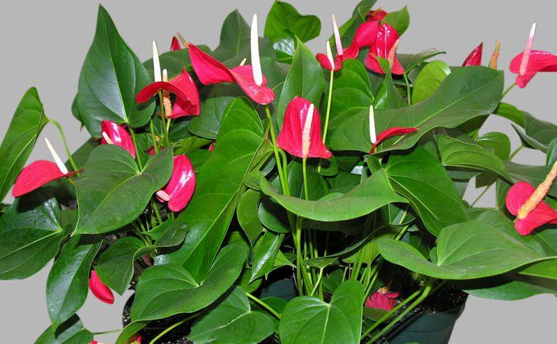 Jenis anthurium bunga