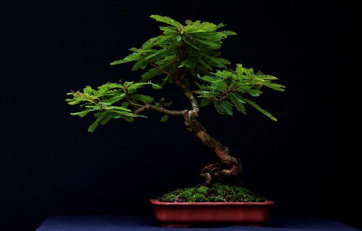 Bonsai Ileng-ileng