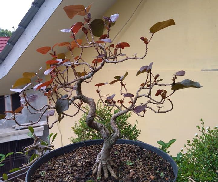 Bonsai waru merah