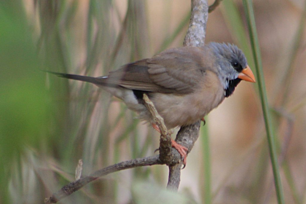 Burung Grass Finch