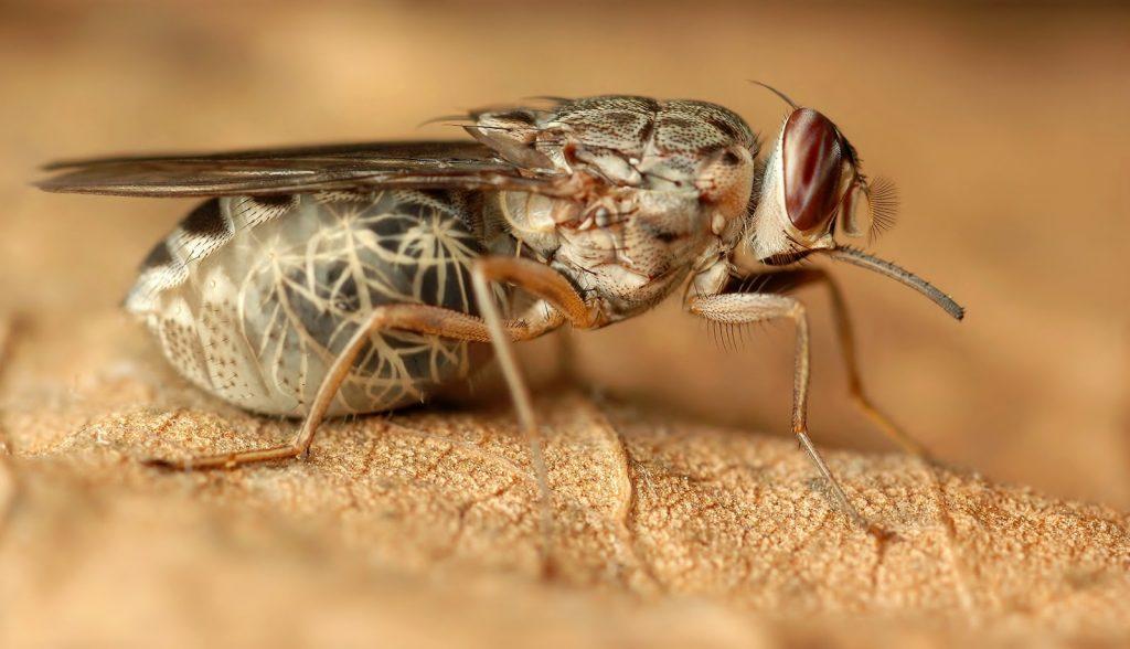Lalat penghisap darah
