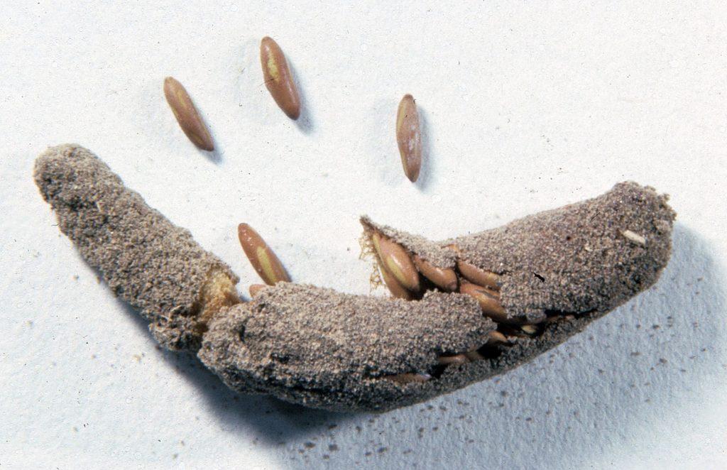 Stadium telur di dalam daur hidup belalang
