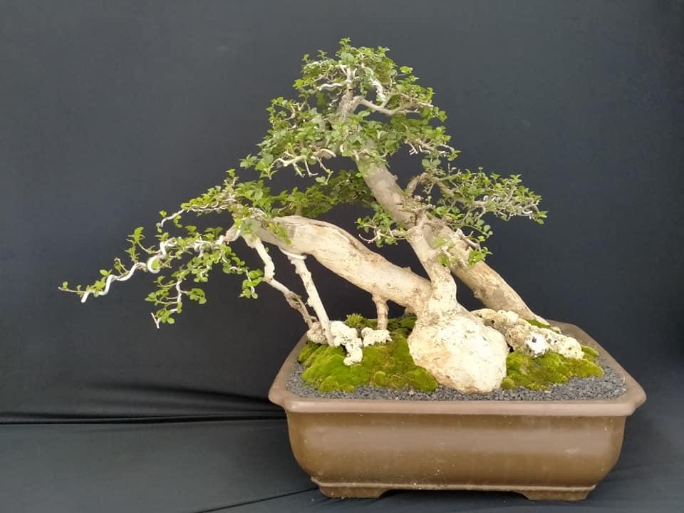 bonsai untuk pemula