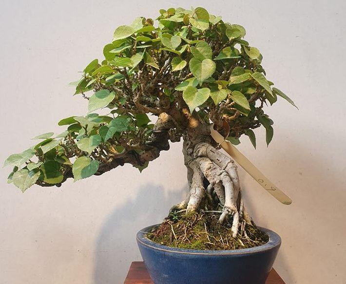 bonsai waru lokal