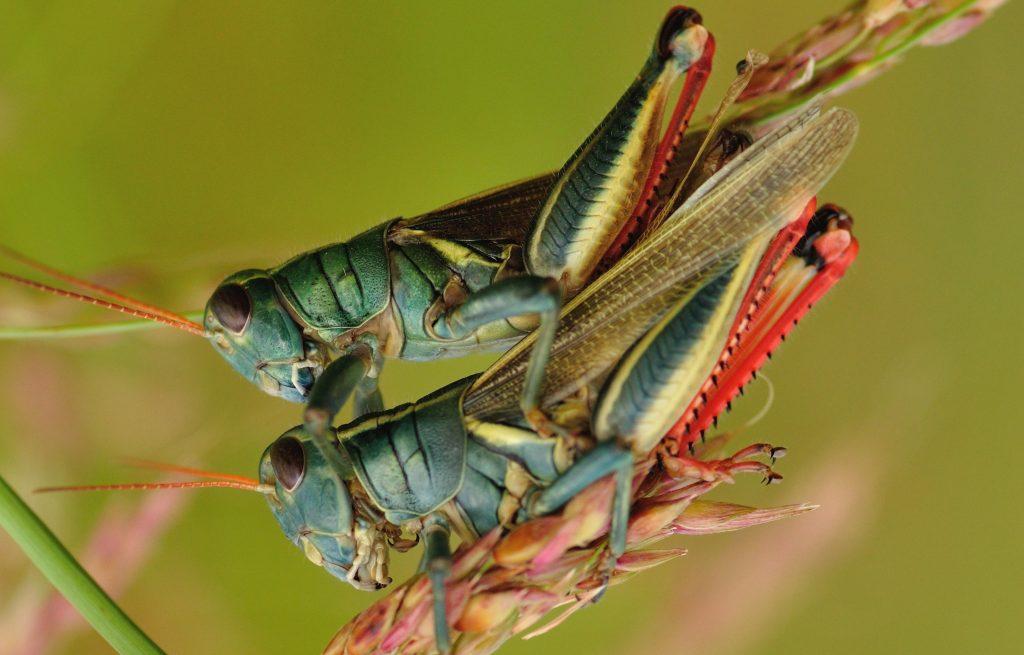 Cara berkembang biak belalang