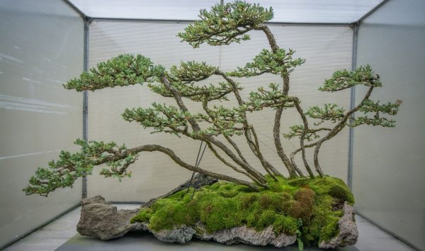 jenis pohon cemara buaya