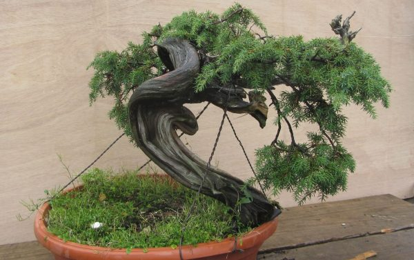 jenis pohon cemara untuk bonsai
