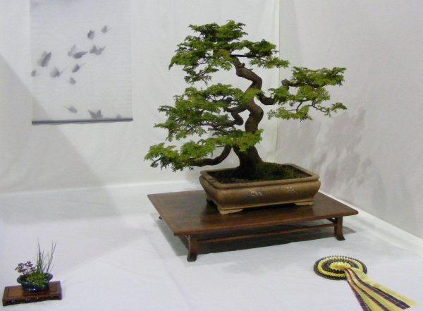 bonsai Cemara Udang
