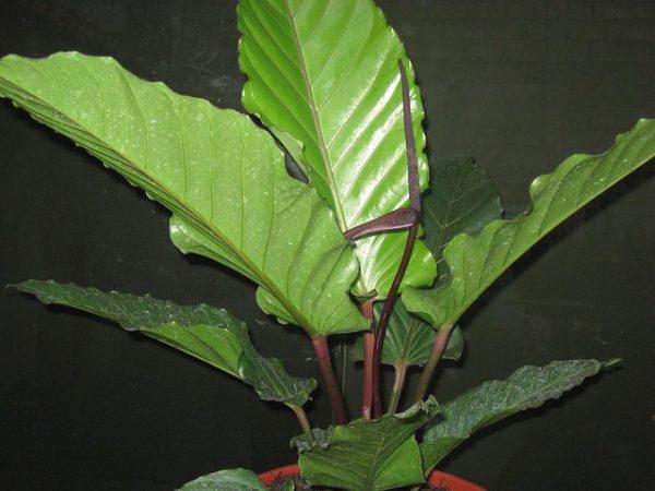 batang merah
