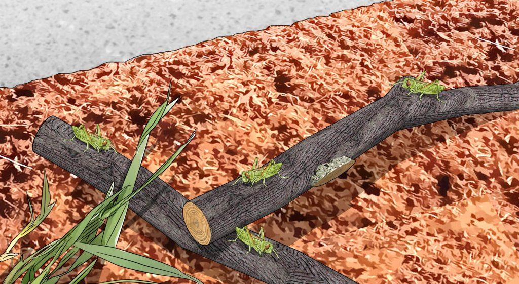 belalang berkembang biak di rumah