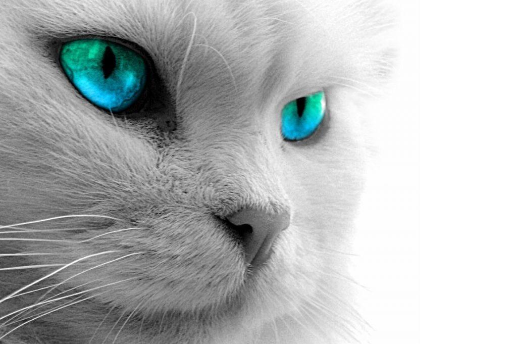 Kucing Russian Blue Ciri Harga Dan Makanan Favoritnya Jenis Net