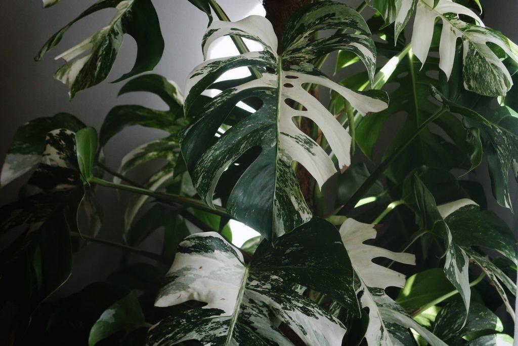 tanaman termahal 2020