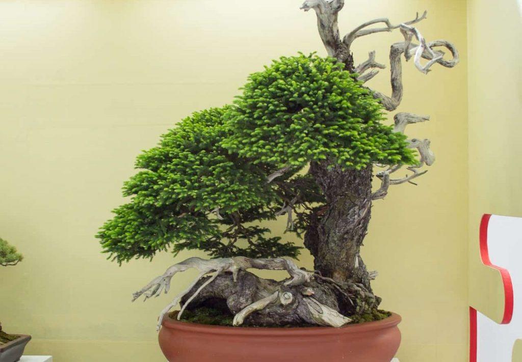 Bonsai pohon cemara ezomatsu
