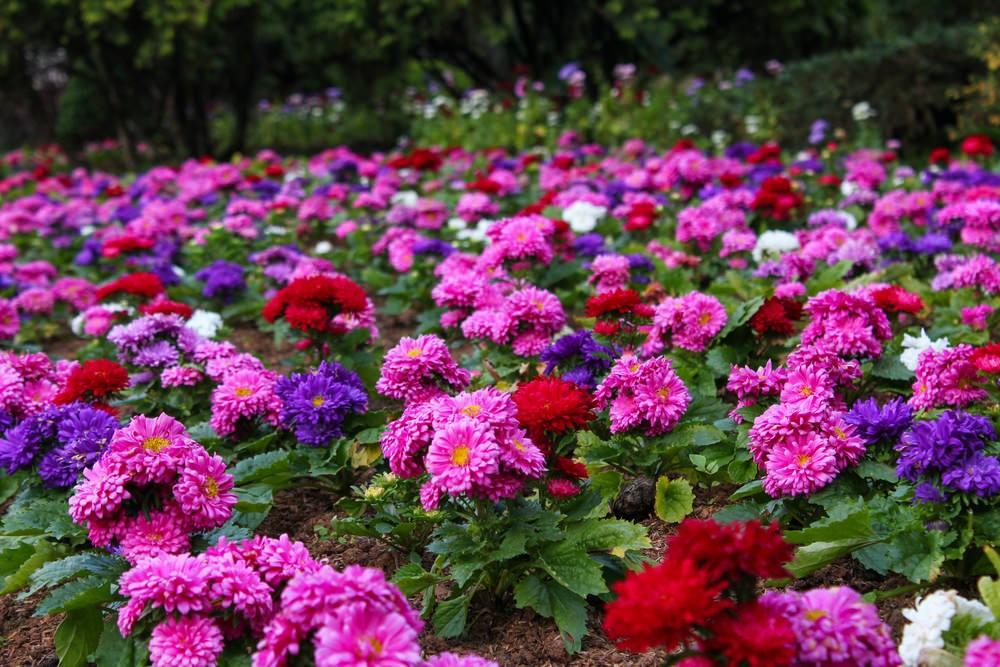 Cara memperbanyak bunga krisan