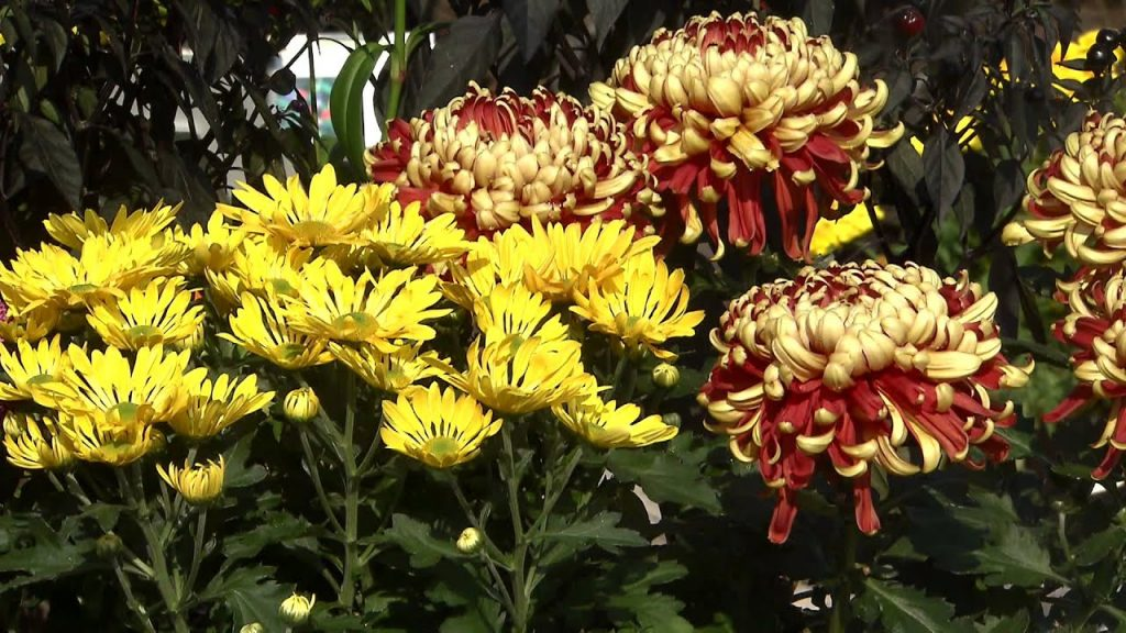 Ciri-ciri bunga krisan