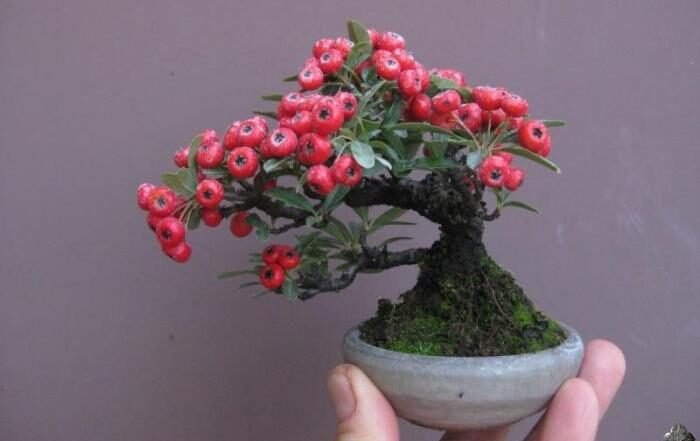 Firethorn mini