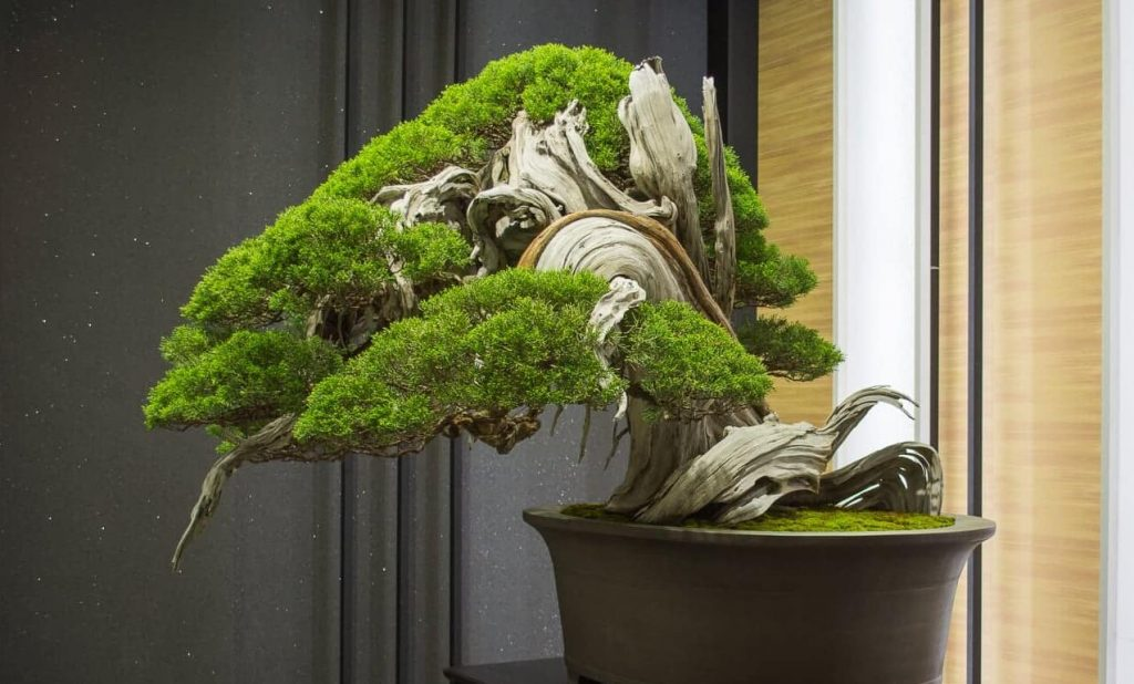 Hiry dragon bonsai