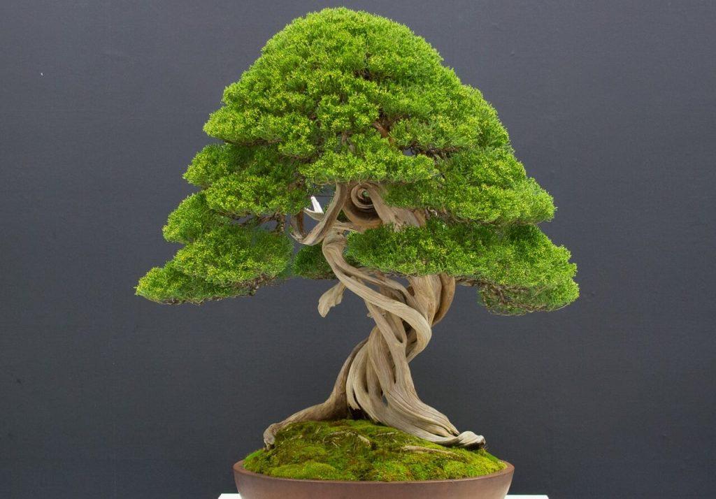 batang bonsai termahal
