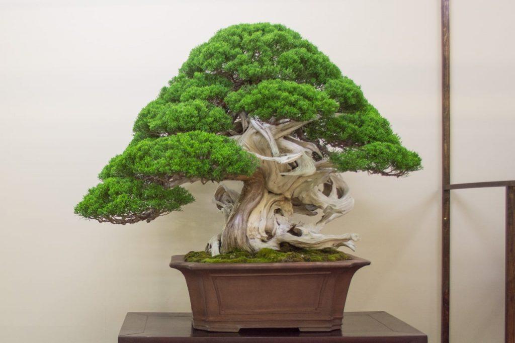 bonsai shinpaku dengan batang yang unik
