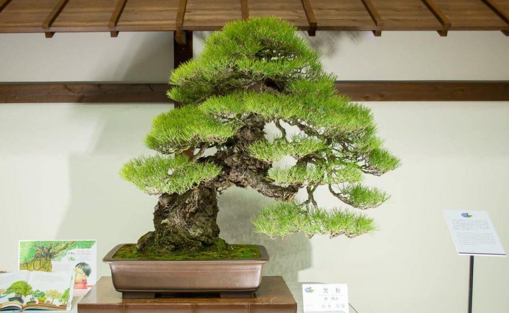 bonsai yang selamat dari bom nuklir