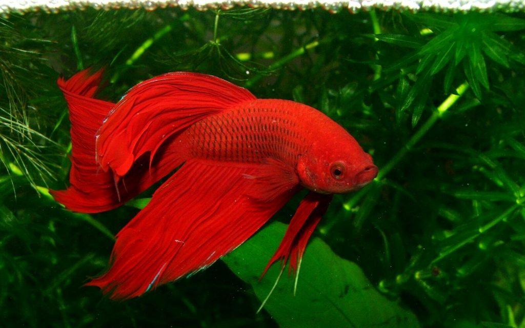 ikan cupang merah polos