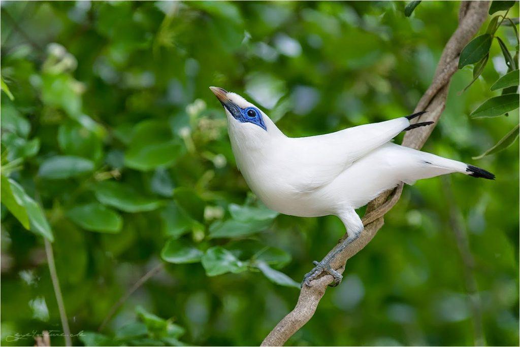 habitat Burung Jalak Bali
