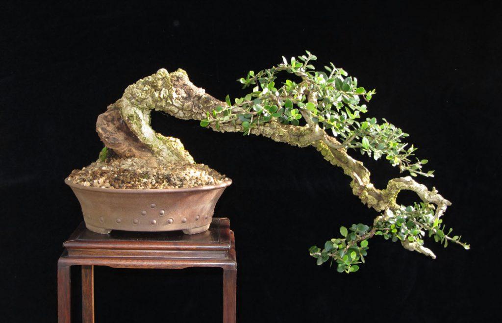 bonsai gaya air terjun zaitun