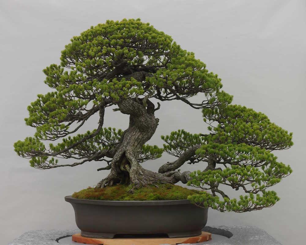 bonsai juara goyo matsu